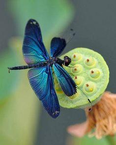 Blue dragonfly on a lotus seedpod by Myu Myu via Flickr