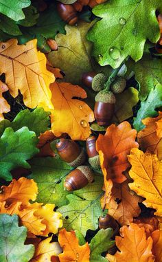 My Nov phone wallpaper. I miss clearing the oak leaves from my yard and neighbor's yards. Oak Leaves, Autumn Leaves, Foto Macro, Autumn Scenes, Fall Is Here, Boxing Day, Autumn Photography, Fall Pictures, Landscape Prints