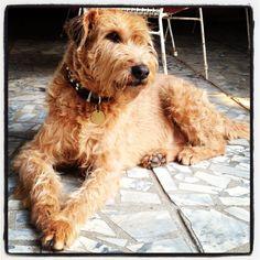 Kenny - My Irish Terrier