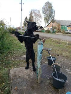 """Pic shows: Sheep dog called Lemon stands on the lever so that the water comes out.nnA retired Russian army dog trainer who left the military to become a farmer claims he's managed to train a dog that is an even bigger help than any farmhand.nnAlexander Matitsyn, 47, said he had purchased the Riesenschnauzer which he called Lemon, despite the fact it was dark black, and had decided to train it to see what it could do.nnHe said: """"I made him carry the bucket to get water from the yard because…"""