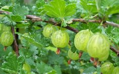 Gooseberry is a great source of vitamins and nutrients, and, as with most berries, it also has a number of antioxidants like polyphenols, which can help in reducing the risk of degenerative cancer. It is said to have 20 times Vitamin C As orange juice. The abundance of vitamin C and other nutrients make it a super food and it's still