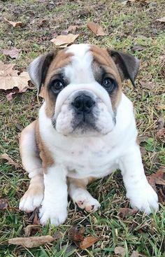 WorldofBulldog