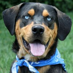Blue rottweiler colors