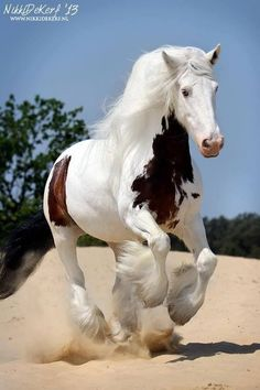 Gypsy Vanner horse running in the sand. This is a beautiful horse Cute Horses, Pretty Horses, Horse Love, Majestic Horse, Majestic Animals, Horse Pictures, Animal Pictures, Beautiful Creatures, Animals Beautiful