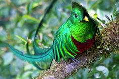 quetzal preservation and life today the quetzal is now falling