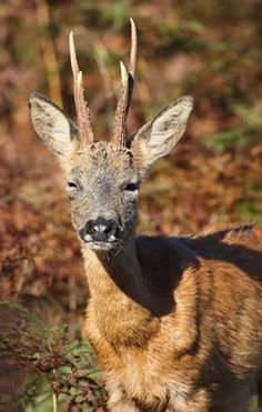 Roe Deer are widespread in the New Forest. Find out where to see New Forest Roe Deer, how to identify them and get a better view. Forest And Wildlife, Roe Deer, New Forest, Autumnal, Nice View, Mammals, Hunting, Sunshine, Nikko