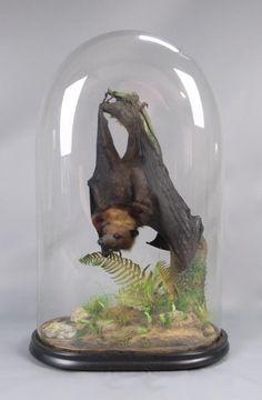 Taxidermy: Flying Fox Fruit Bat. So pretty!