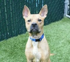 SUPER URGENT - 09/23/17 **ON PUBLIC LIST**Manhattan Center My name is TWIZZLER. My Animal ID # is A1125158. I am a male brown am pit bull ter mix. The shelter thinks I am about 2 YEARS I came in the shelter as a STRAY on 09/11/2017 from NY 10031, owner surrender reason stated was OWN EVICT. I came in with Group/Litter #K17-111036.