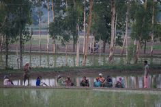 An Indian Family working the rice fields together