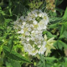 Fluffy White Heads Throughout Summer The Spirea 'Japanese White', Spiraea albiflora, has bright green foliage, topped by heavy clusters of white blooms at the end of the branches. Japanese White is covered with flat clusters of white flowers in June, and Spring And Fall, Early Spring, Magic Carpet Spirea, Planting Shrubs, Grow Bags, Plants Online, Organic Matter, New Growth, Container Plants