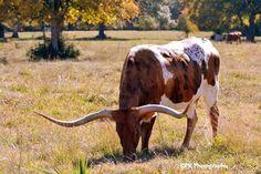 ¡Vacas cuernos largos, ganados de TEXAS!
