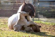 Gypsy horse & baby