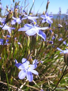 Blue flowers on Kangaroo Island
