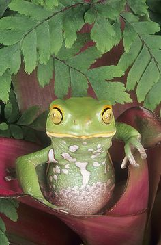 ☆ Painted Bellie Monkey Frog, Argentina :¦: Gail Melville Shumway Photography ☆