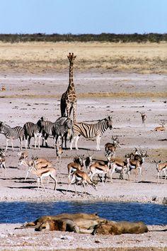Sleeping lions make the neighbors nervous at the watering hole in Etosha, Namibia, Africa