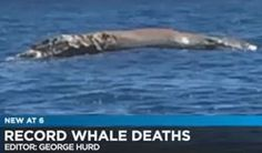 "TV Reporter: ""Woah! Dead whales!"" Record high number of deaths in Hawaii — ""Carcasses scattered throughout islands"" in Pacific — Sick and starving animals a 'mystery' to experts — ""Possible health effects"" from Fukushima radiation off coast (VIDEO) « ENENews.com – Energy News"