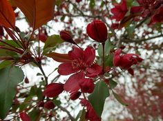 Red Flowering Tree Blossom
