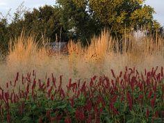 Interesanti kā uz Calamagrostis fona 'saspēlējas' Sanguisorba ar atbilstošas krāsas Persicaria