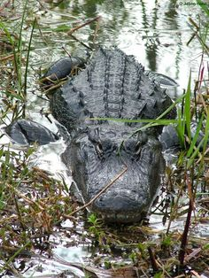 American alligators reside nearly exclusively in the freshwater rivers, lakes, swamps, and marshes of the southeastern United States, primarily Florida and Louisiana.  Heavy and ungainly out of water, these reptiles are supremely well adapted swimmers. Males average 10 to 15 feet (3 to 4.6 meters) in length and can weigh 1,000 pounds (453 kg). Females grow to a maximum of about 9.8 feet (3 meters.)