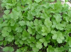 Cilantro (Coriander). Consuming just two teaspoons a day for 2 wks will bind heavy metals (like mercury in fish) trapped in you system and carry them out of the body. Also banishes gas and eases indigestion.