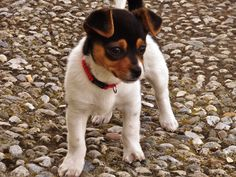 Rat terrier puppie Bodeguero .. I just want to cuddle with this little guy!