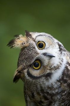 Great Horned Owl - Photographed By Darrel Gulin. Beautiful Owl, Animals Beautiful, Cute Animals, Owl Photos, Owl Pictures, Owl Always Love You, Great Horned Owl, Owl Bird, Owl Cat
