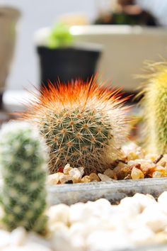cactos and succulents #cactos my collection