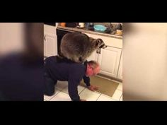 Giant pet raccoon rides owner's back on hunt for treats - http://dailyfunnypets.com/videos/dogs/giant-pet-raccoon-rides-owners-back-on-hunt-for-treats/ - This enormous pet raccoon wanted to get up higher and used its owner's back in order to scour the kitchen counters for treats. - (2005, (animal), (film), (website, animals, back, category), cats, character), crossing, dog, dogs, genre), pet, pets, r, raccoon