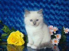 Jaden Blue Mitted Male Ragdoll - Ragdoll Kitten for Sale - from www.RagdollKittens.com