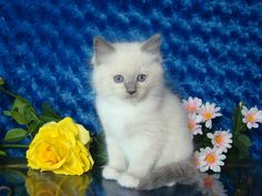 Jaden Blue Mitted Male Ragdoll - Ragdoll Kitten for Sale - from www.RagdollKittens.com