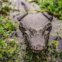 Yacaré Negro, Esteros de Iberá  #PH Patricio Soto para #NatArg #NaturalezaArgentina #Corrientes #EsterosdeIbera #Fauna #FaunaArgentina #ViajaportuPais #Travell