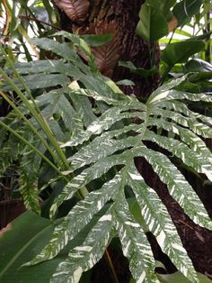 Petticoat Fern | *• Garden •* {The Secret Garden ...
