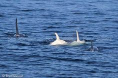 """WOW! After """"Iceberg"""" and """"Lemon"""" there are two more white russian Orcas. Spotted yesterday, August 29th, near southern Kuril Islands. Maybe Mom and calf."""