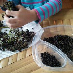 Picking elderberries in our summer garden! https://flgardening.wordpress.com/2014/07/10/hello-blog-hello-summer-garden/ #loveFL