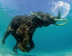 70 year old Rajan the Elephant goes for a dip every morning off the beach of the Andamans. Someday we will meet