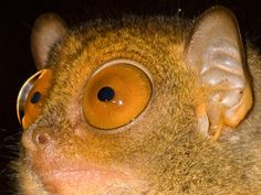 Tarsier EyesTarsiers are haplorrhine primates of the family Tarsiidae, which is itself the lone extant family within the infraorder Tarsiiformes. Although the group was once more widespread, all the species living today are found in the islands of Southeast Asia. In Bohol Island in the Philippines, tarsiers is locally known as mamag.