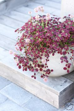 KUKKALA: Vihreä koristeapila kulhossa. Trifolium repens red.