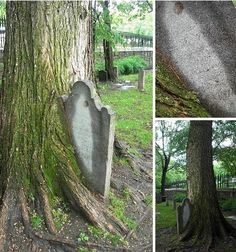 "Trees have the uncanny ability to ""absorb"" most any solid object that they may come in contact with. How long would it take for a tree to grow around a tombstone like the one above, found in a Quebec, Canada, graveyard has done? Figure on the better part of 200 years if one takes the early 19th century dates on this and other nearby gravestones into consideration."