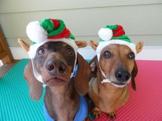 We love treats too!!! - photo via Charlie Brown the Handicapable Doxie --> Everyone loves a Dachshund fb page