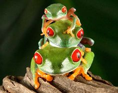 Frog Wall Art  Stack of Frogs  Tree Frog Picture  by FrogFun,