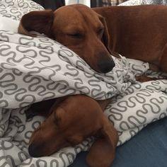 "lovethebear: ""Cyra & Jake napping #puppy #dachshund #thecutenessisreal! """