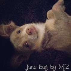 Hello June Bug... chihuahua love