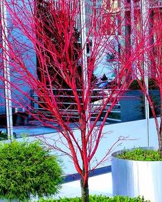 Coral Bark Japanese Maple Acer palmatum 'Sango Kaku' 3 - Year Live Plant Brilliant Red Bark is Bright Red, Year Round Beauty With a Spectacular Range of Leaf Colors Garden Trees, Flowers Garden, Lawn And Garden, Garden Paths, Planting Flowers, Winter Plants, Winter Garden, Japanese Garden Design, Japanese Gardens