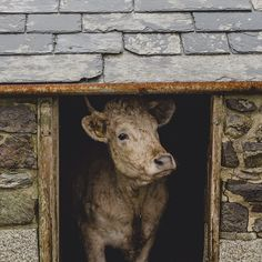 """""""I,"""" said the cow, all white and red, """"I gave Him my manger for His bed; I gave Him my hay to pillow His head; I,"""" said the cow all white and red."""