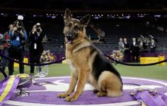 German Shepherd Rumor wins Westminster Kennel Club Best in Show