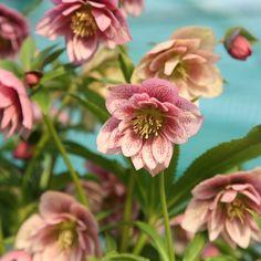 Helleborus × hybridus Harvington double pink speckled Lenten rose hellebore