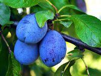 Rady valašského pěstitele slivoní: zakládání sadu a ochrana před šarkou Plum, Blueberry, Fruit, Plants, Tvar, Gardening, Blueberries, The Fruit, Lawn And Garden
