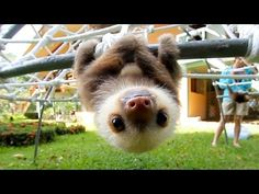 Bebeh Sloths. ON A JUNGLE GYM! — Cute Overload