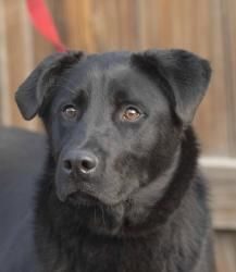 Duke is an adoptable Labrador Retriever Dog in Evans, CO. All adoptions include: Spay/neuter If the animal is not yet spayed or neutered: Every animal will be spayed or neutered prior to going home wi...