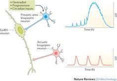 Regulation of GnRH neurons by kisspeptin neurons.